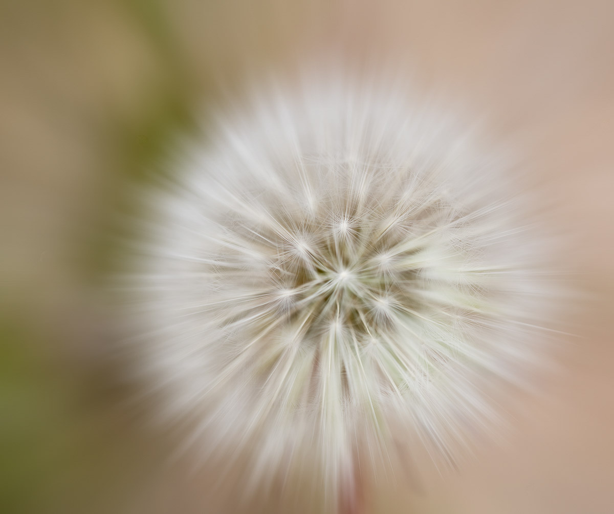 RMNP08-173-Dandelion-MASTER.jpg