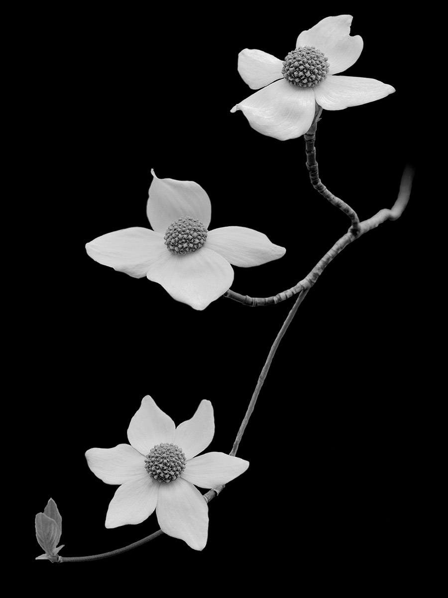 YOS99-0100_Dogwood_Blossoms.jpg