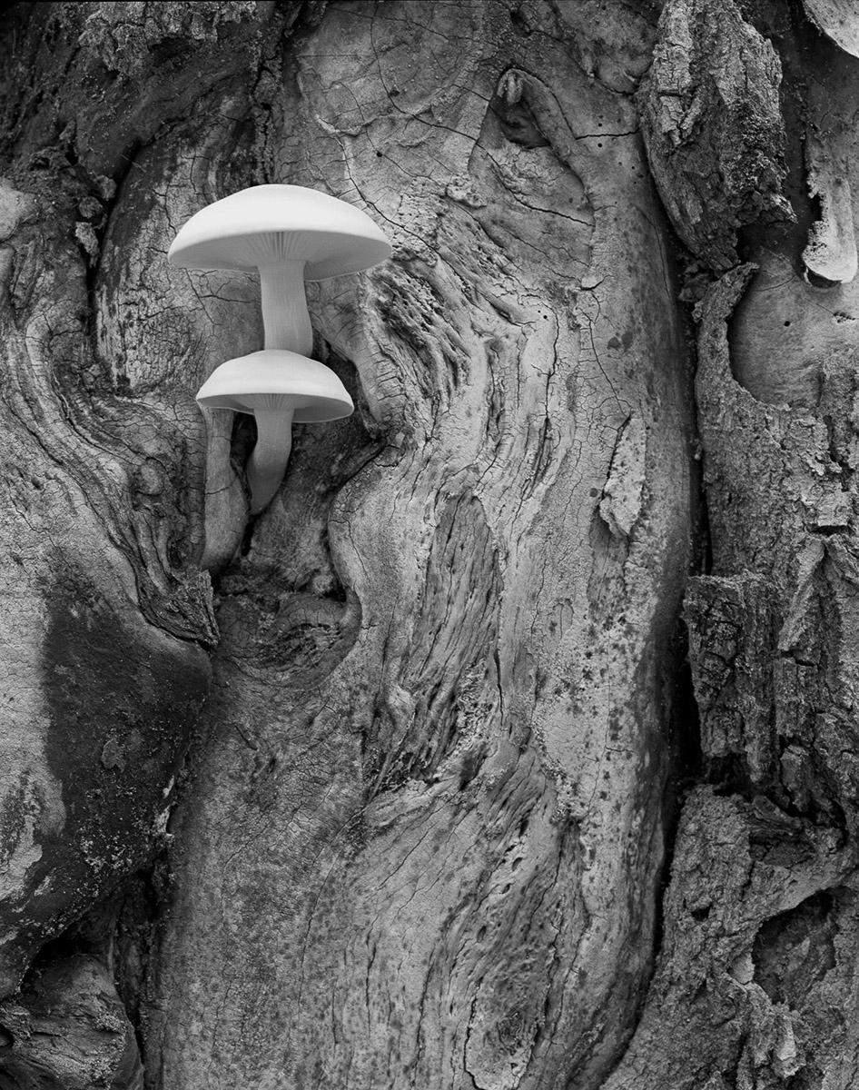 UP95-076_Oyster_Mushrooms.jpg